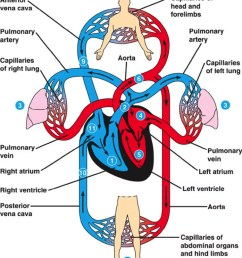 cardiovascular system [ 975 x 1125 Pixel ]