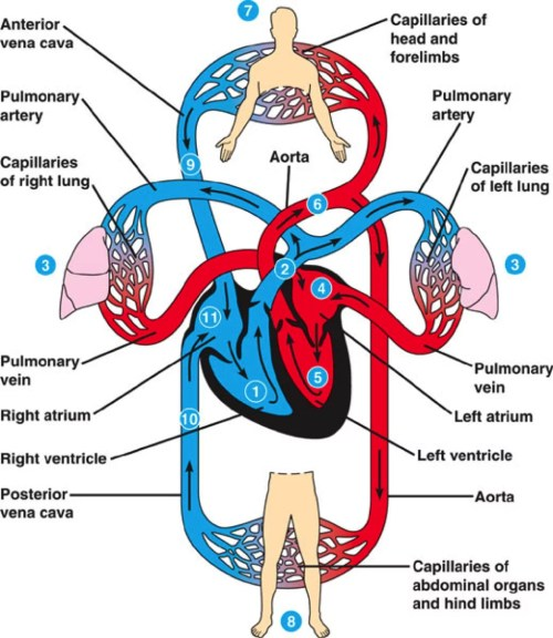 small resolution of cardiovascular system