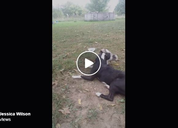 Tiny Pig Shows Pit Bull Who's Boss And It Is The Cutest Thing Ever!
