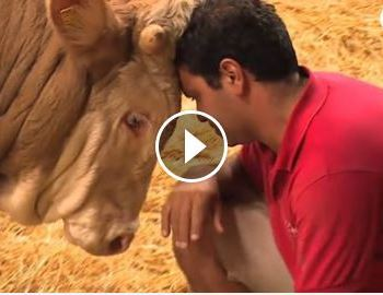 Bull Rescued From A Concrete Cell Feels His First Bed Of Straw!