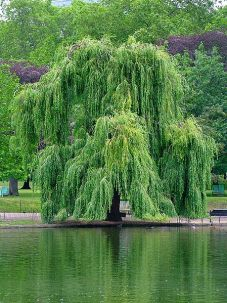 Willow by J D Forester - Wikipedia