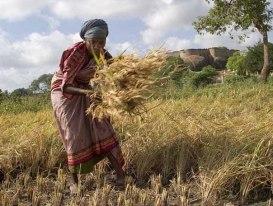 Manual_harvest_in_Tirumayam wikipedia by claude Renault