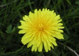 800px-Dandelion_close-up-by-Benjamin-D.-Esham-for-Wikipedia-share-alike-license.jpg