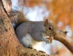http://en.wikipedia.org/wiki/File:Eastern_Grey_Squirrel_in_St_James%27s_Park,_London_-_Nov_2006_edit.jpg