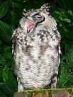 http://en.wikipedia.org/wiki/File:SpottedEagleOwl2483MGYawn.jpg