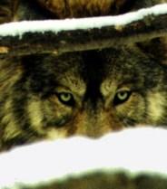 https://naturalunseenhazards.wordpress.com/2012/05/04/oregon-dfw-investigation-confirms-lone-wolf-killed-five-sheep-in-umatilla-county-washington-fish-wildlife-officer-shoots-mountain-lion-in-residential-area-massachusetts-policeman-says-dog-wa/