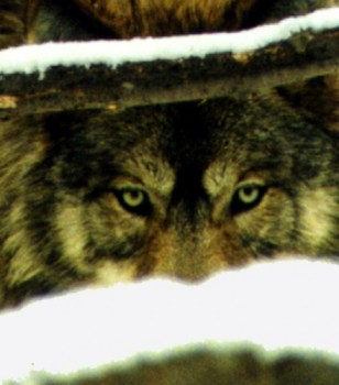 https://naturalunseenhazards.wordpress.com/2012/05/04/oregon-dfw-investigation-confirms-lone-wolf-killed-five-sheep-in-umatilla-county-washington-fish-wildlife-officer-shoots-mountain-lion-in-residential-area-massachusetts-policeman-says-dog-wa/