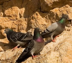 http://en.wikipedia.org/wiki/File:Rock_pigeons_on_cliffs.jpg