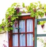 Grape_vines-wikimedia-commons-share-alike-license