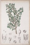 Myrrh - wikipedia - public domain