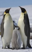 http://en.wikipedia.org/wiki/File:Aptenodytes_forsteri_-Snow_Hill_Island,_Antarctica_-adults_and_juvenile-8.jpg