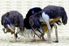 http://commons.wikimedia.org/wiki/File:Ostriches-head-in-sand2.jpg