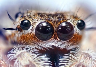 http://en.wikipedia.org/wiki/File:Jumping_Spider_Eyes.jpg