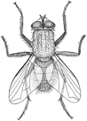http://commons.wikimedia.org/wiki/File:Musca_illustration.png