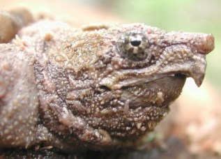 http://en.wikipedia.org/wiki/File:Alligator_snapping_turtle_less_than_1_year_old.jpg