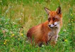 Rød Fox - Courtesy of Malene - Wikipedia - Share-alike License