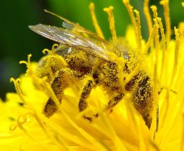 https://commons.wikimedia.org/wiki/File:Image-Pollination_Bee_Dandelion_Zoom2.JPG