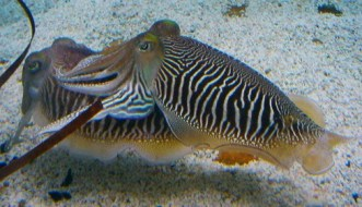 http://commons.wikimedia.org/wiki/File:Sepia_officinalis_Cuttlefish_striped_breeding_pattern.jpg