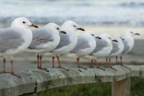 http://ia.wikipedia.org/wiki/File:NeuseelandSeagulls.jpg
