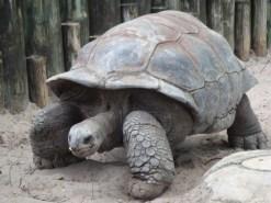 http://commons.wikimedia.org/wiki/File:A._gigantea_Aldabra_Giant_Tortoise.jpg