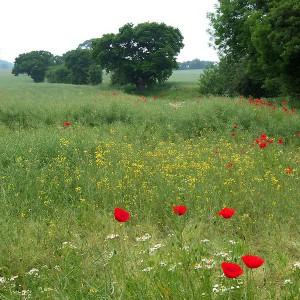 http://commons.wikimedia.org/wiki/File:Wild_Flowers_in_the_Rape_Field,_near_Essington,_Staffordshire_-_geograph.org.uk_-_458330.jpg