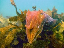 http://commons.wikimedia.org/wiki/File:GiantCuttlefish6.jpg
