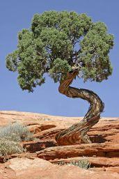 http://de.wikipedia.org/wiki/Datei:Tree_Canyonlands_National_Park.jpg