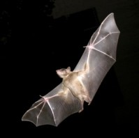 http://commons.wikimedia.org/wiki/File:PikiWiki_Israel_11327_Wildlife_and_Plants_of_Israel-Bat-003.jpg