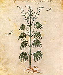 Early Hemp Plant Drawing