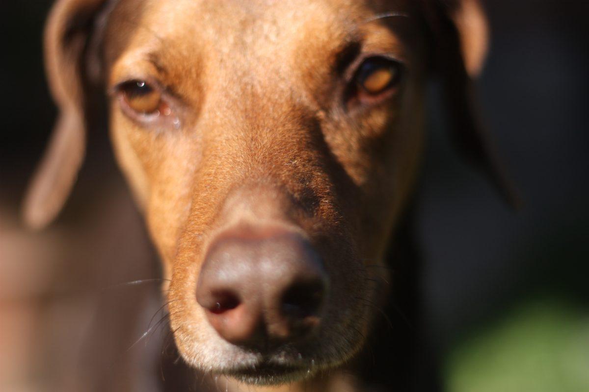 Thehempydog-Nuestro-equipo-Ginger3