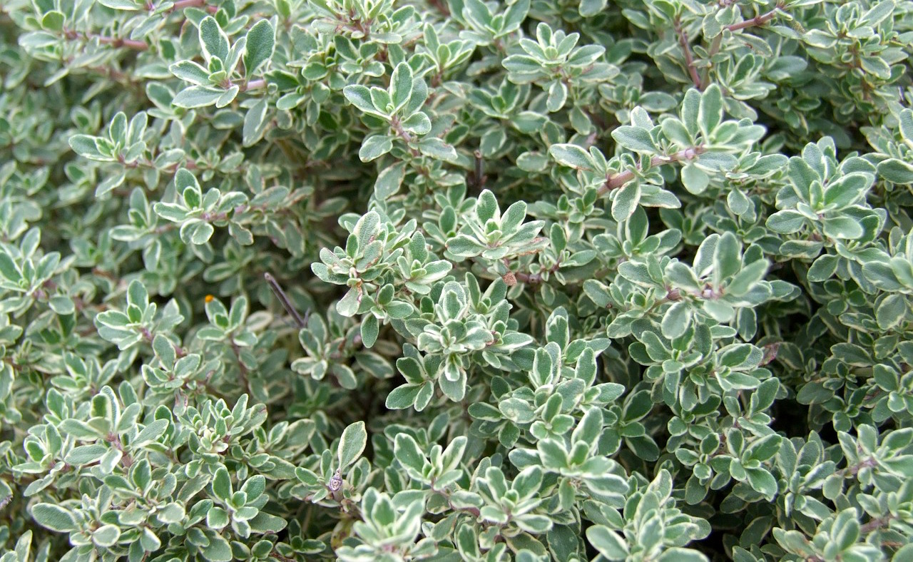 Thyme 5 Kitchen Herbs For Cold And Flu
