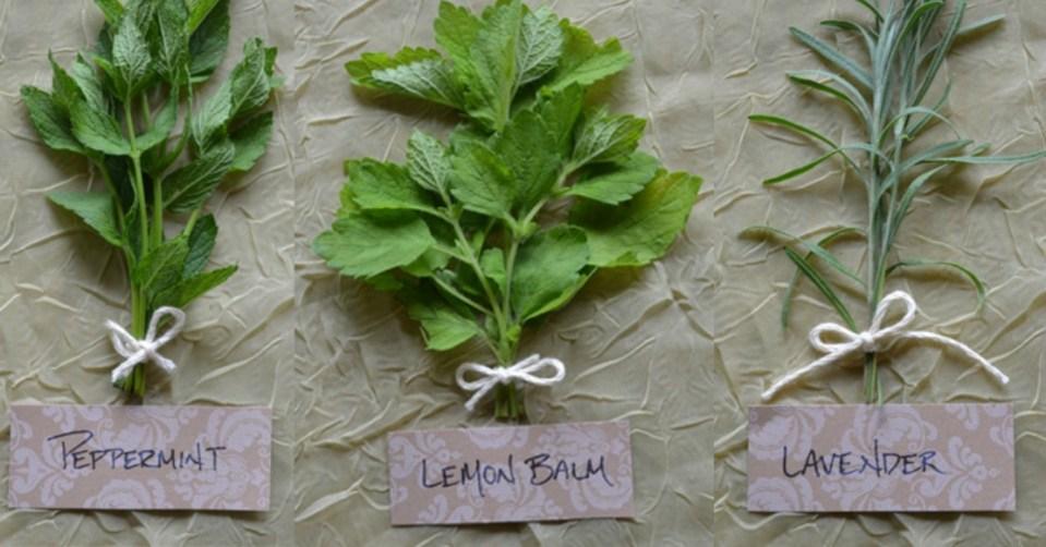 Mint-Family-Herbal-Remedies-Herbal-Academy