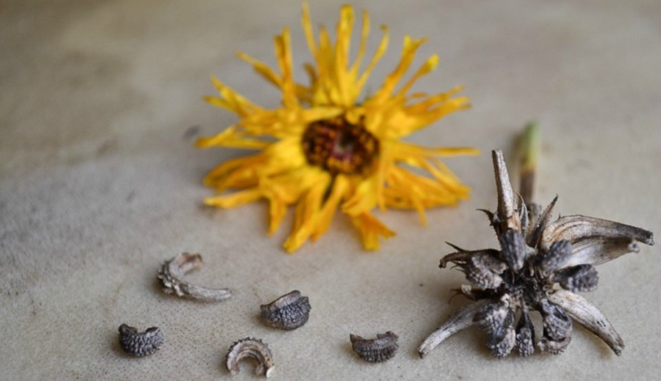 How-To-Save-Seeds-From-Harvesting-to-Using-Them-Herbal-Academy-of-New-England-e1428584063568