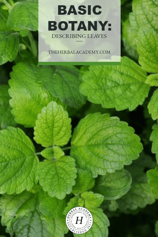 Basic Botany: Describing Leaves | Herbal Academy | A little basic botany goes a long way to help us understand our herbal allies and make positive identifications when we are working with new plants.
