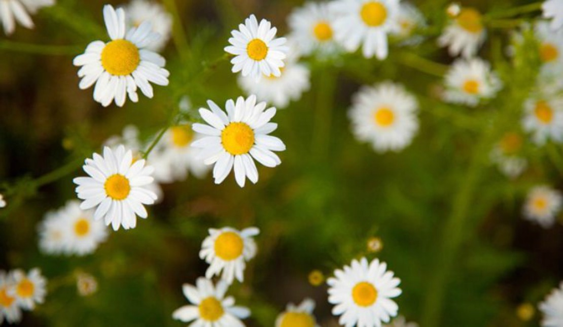 A Family Herb: Chamomile Flower - Herbal Academy