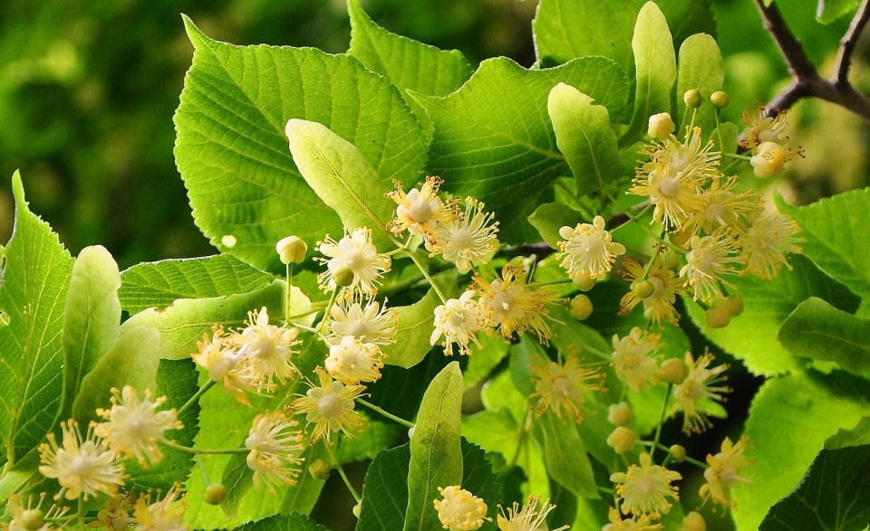 3 Nervine Herbs to Help Soothe Stress | Herbal Academy | Did you know there is a group of herbs that can help you manage your stress? They're called nervines. Come all about them and how you can use them to manage daily stress!