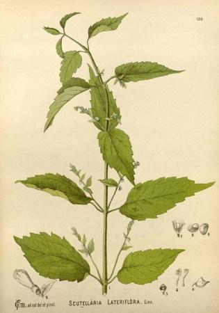 Scutellaria-lateriflora-PD