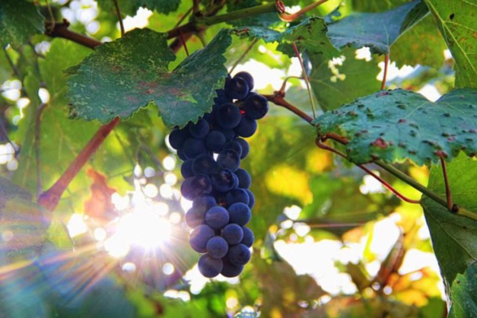 grapessunshine