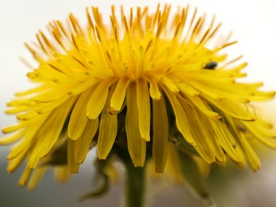 A Family Herb: Dandelion | Herbal Academy |The humble dandelion is a surprisingly beneficial plant for every member of the family. Learn how to use this plant for good health!