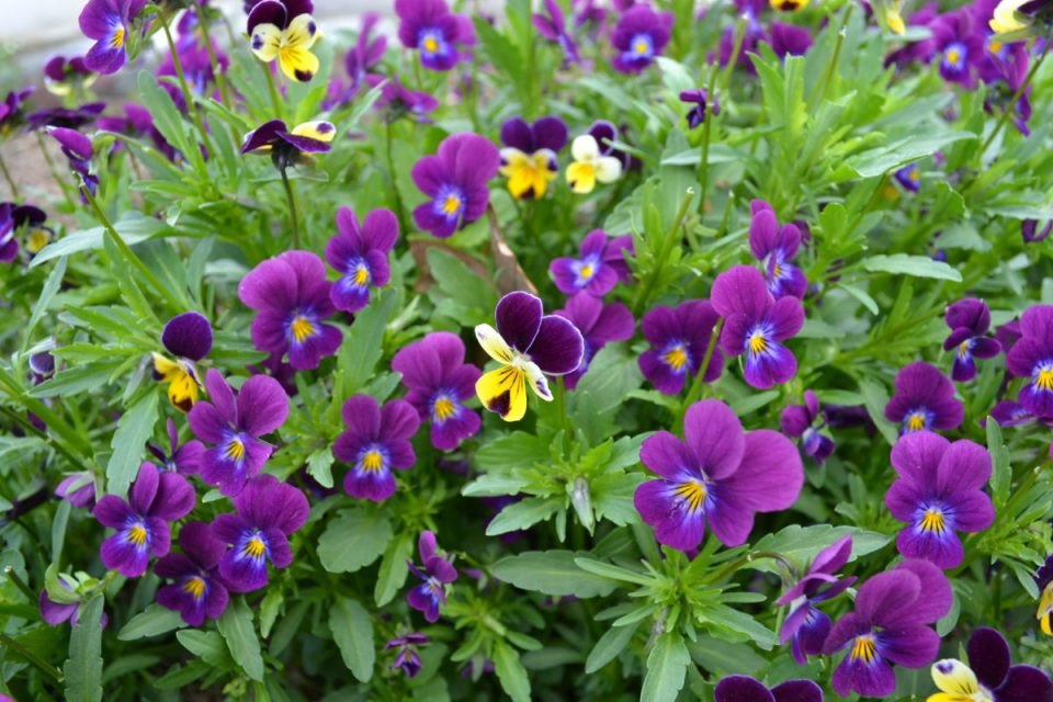 Sweet Violets of Spring   Herbal Academy   These flowers are the perfect pick for spring gatherers. From using them in food to pressing them for note cards, we have some inspirational ideas for using and enjoying the violets of spring!