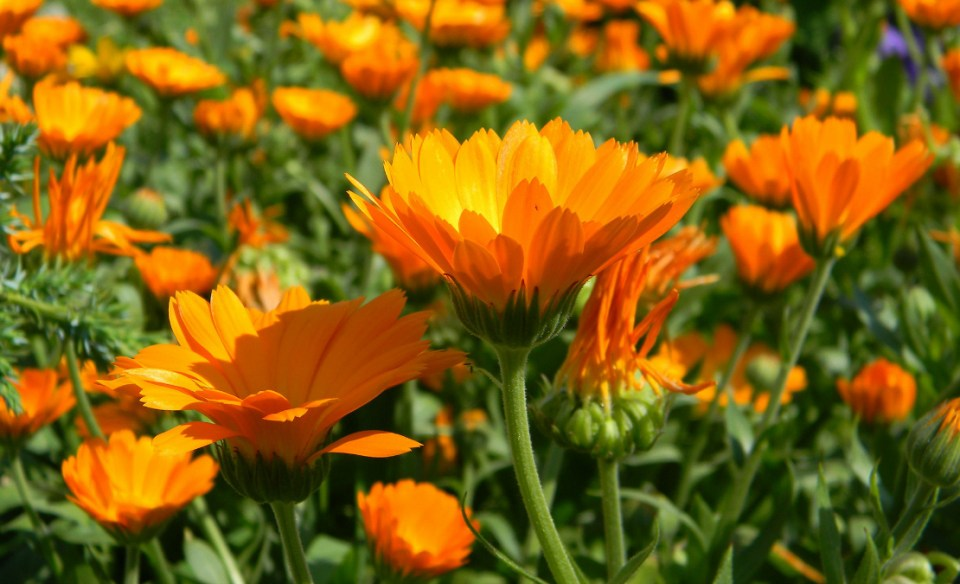 A Family Herb: Helpful Calendula Blossoms | Herbal Academy | Calendula has an extensive history of use and is best known for its benefit to the skin. Learn all about the many uses of this herb!