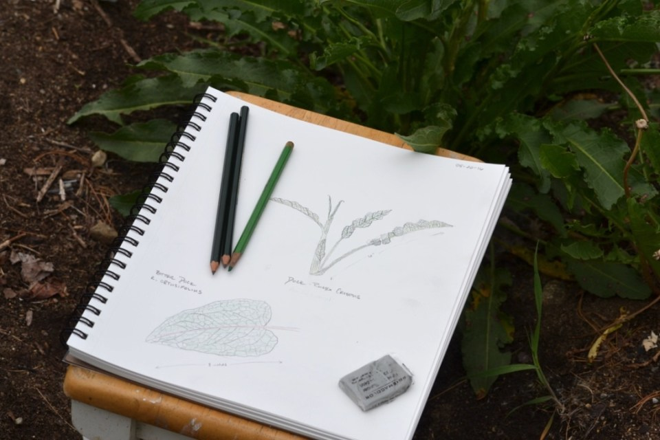 Creating a Local Materia Medica with Yellow Dock | Herbal Academy | Come learn about yellow dock and how to create your own local materia medica with it this month!