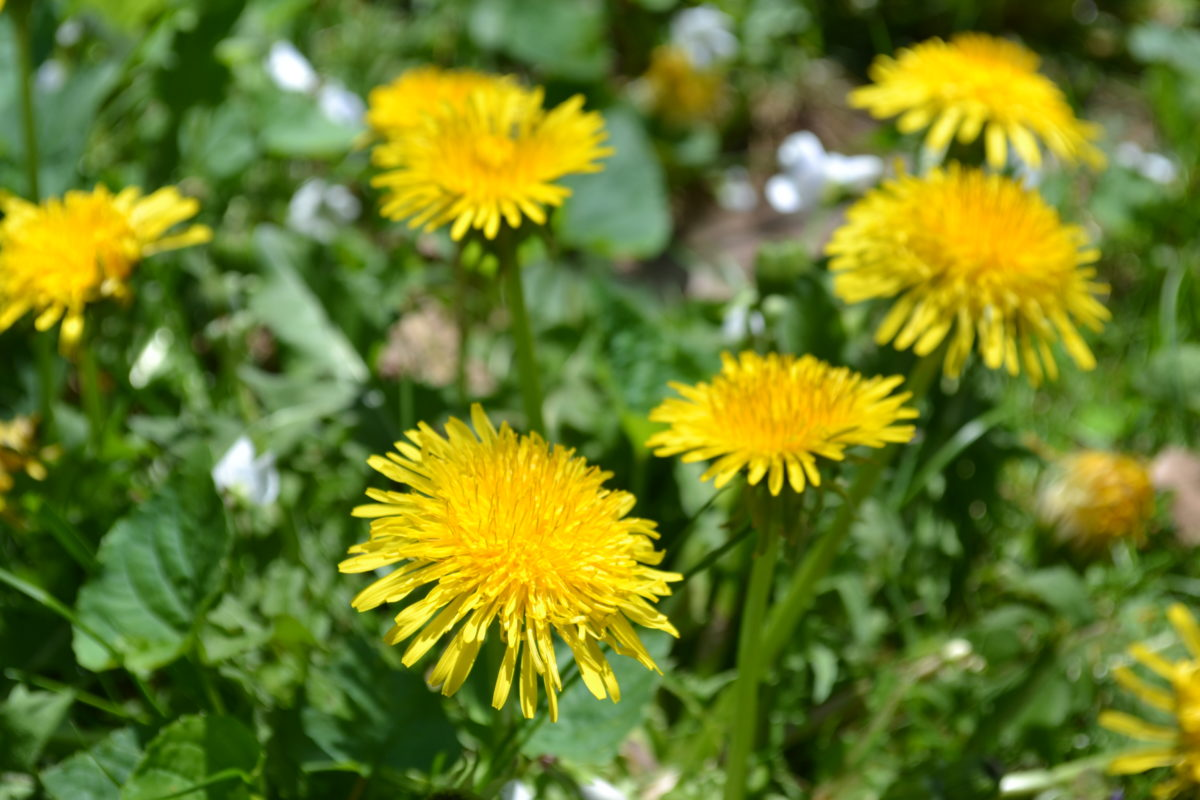 All About Dandelion (For Your Materia Medica)