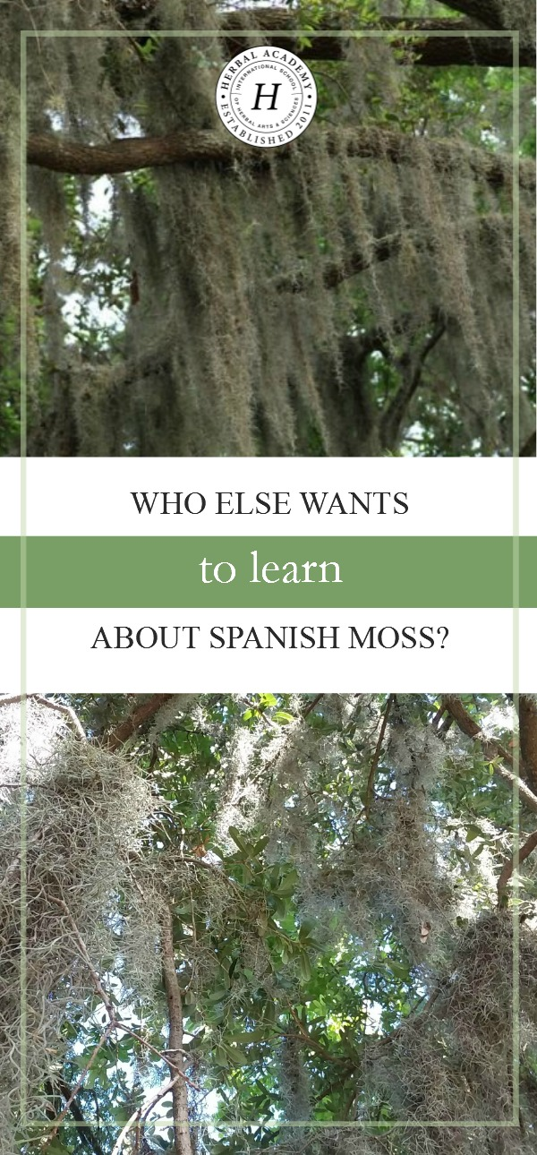 Who Else Wants To Learn About Spanish Moss? | Herbal Academy | Join us as we learn about the history and uses of Spanish moss!