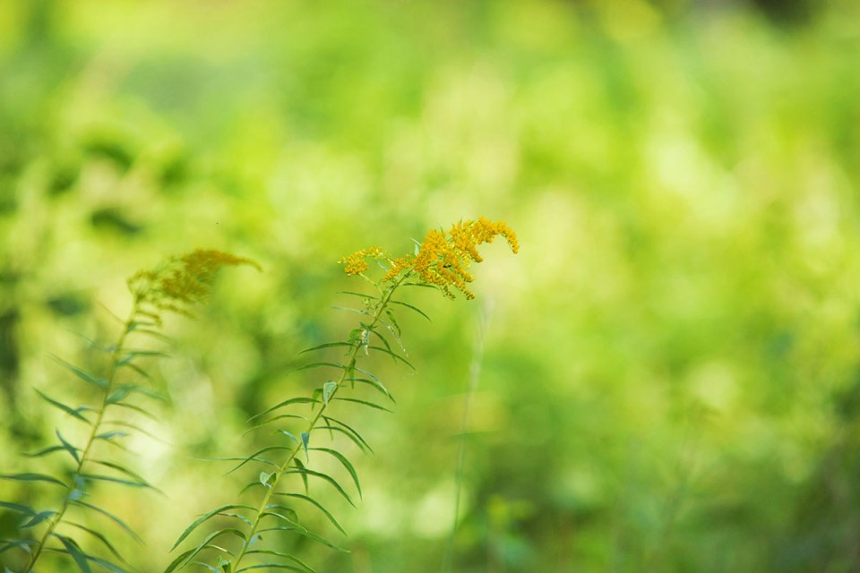 3 Tips For Foraging Goldenrod This Year | Herbal Academy | Are you looking for an herb to forage this fall? Goldenrod is a great choice! We have three tips to keep in mind when you are foraging goldenrod this year.