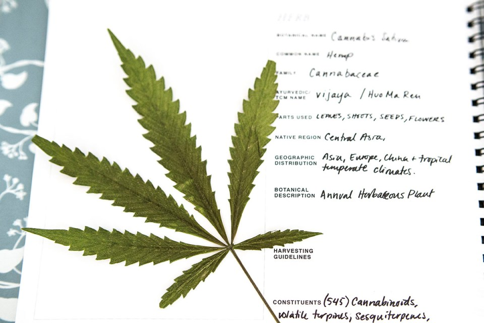 How To Incorporate Hemp in Your Materia Medica | Herbal Academy | Here's a basic introduction to hemp so that you can walk away with a better understanding of how to incorporate it in your materia medica.