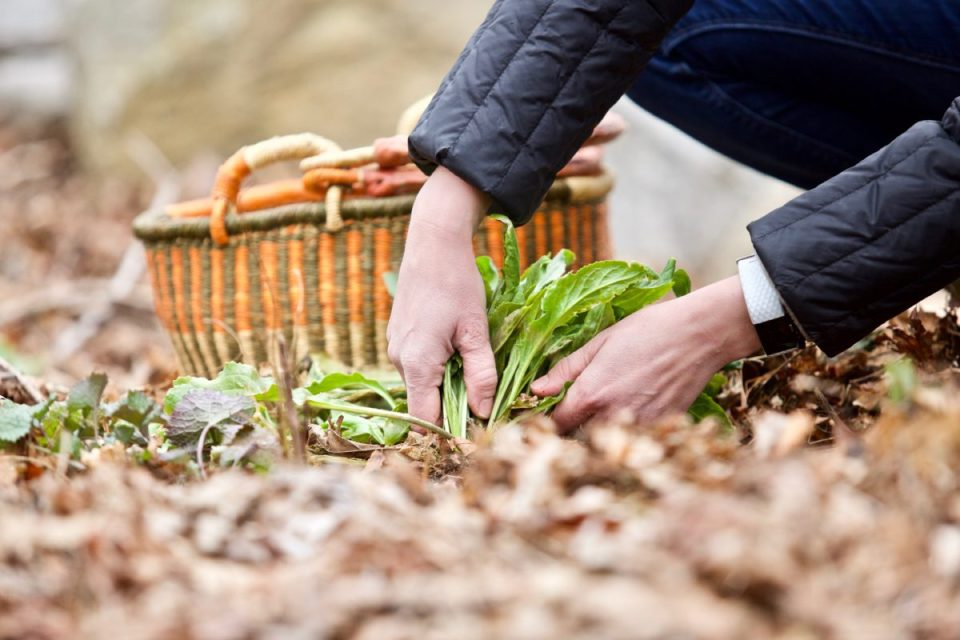 How To Identify And Wildcraft Plants Outside Your Front Door   Herbal Academy   Are you ready to learn how to identify & wildcraft plants this year? If so, grow your confidence and skill with our Botany & Wildcrafting Course!