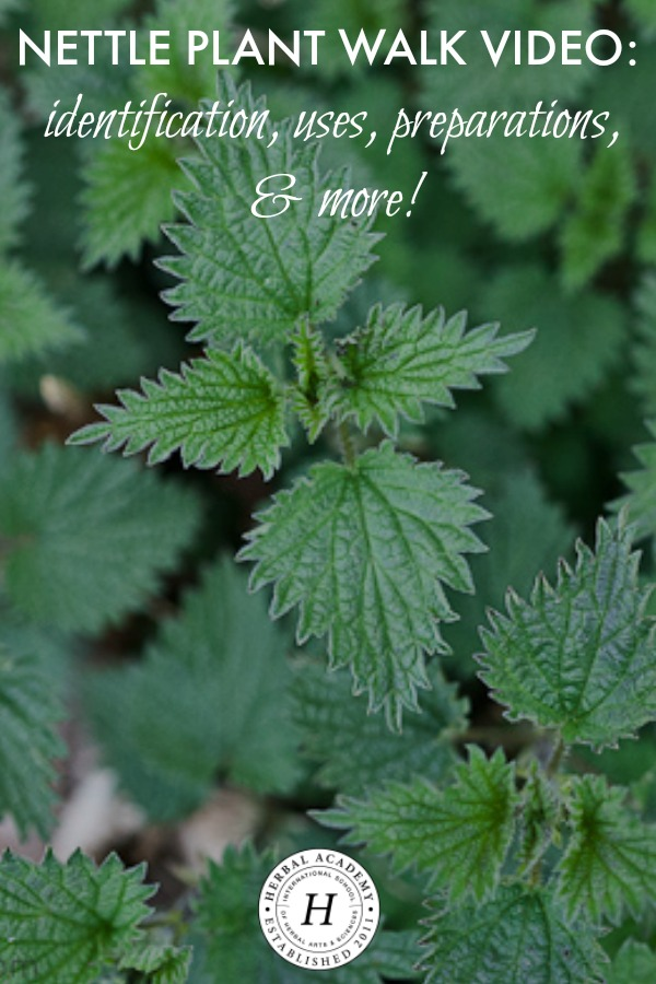 Nettle Plant Walk Video: Identification, Uses, Preparations, & More! | Herbal Academy | Join us for a plant walk video all about the herb, nettle!