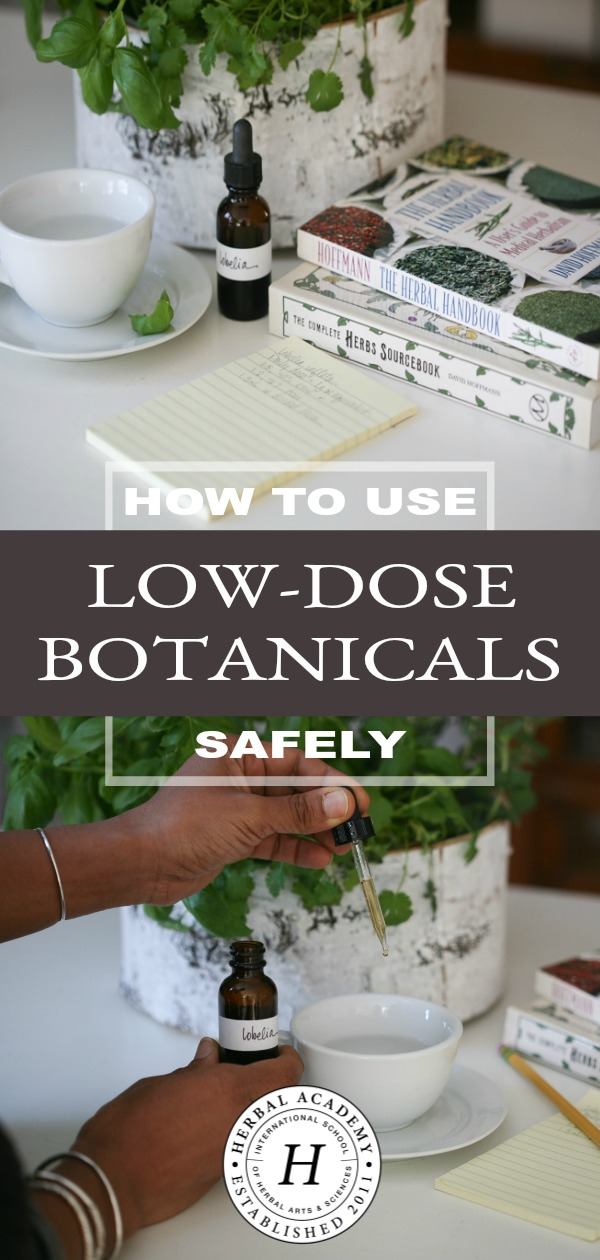 How To Use Low-Dose Botanicals Like Lobelia Safely | Herbal Academy | Learn what low-dose botanicals are and proper ways to use them safely. We'll look specifically at the herb lobelia (Lobelia inflata).