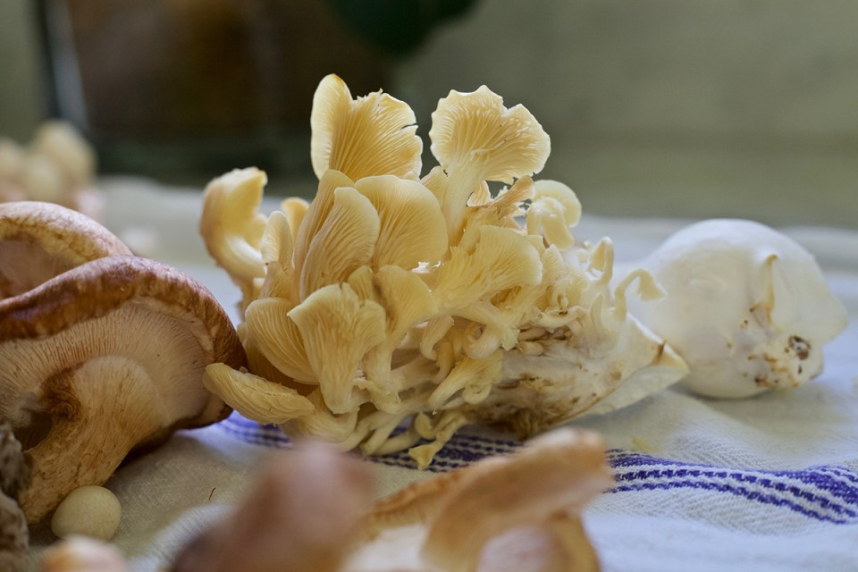 Edible Mushroom Benefits of Six Super Star Mushrooms | Herbal Academy | If tantalizing recipes aren't enough motivation, knowing the edible mushroom benefits of some of the best fungi available may provide further inspiration.